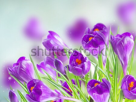 Foto stock: Primavera · nieve · violeta · flores · blanco · Pascua