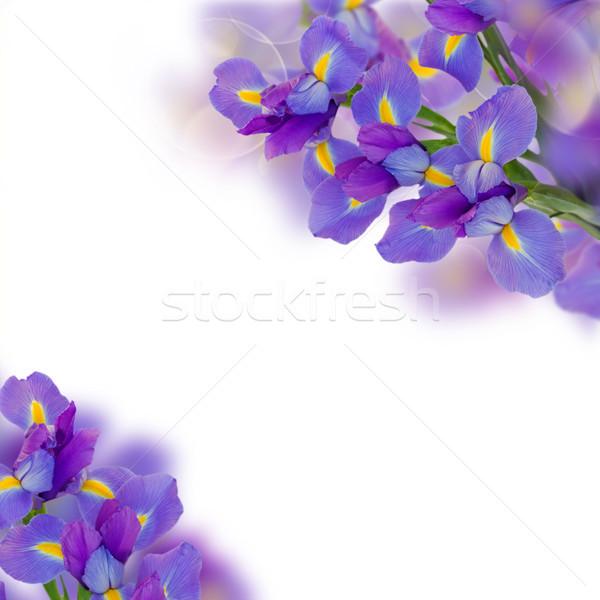 bouquet of irises Stock photo © neirfy