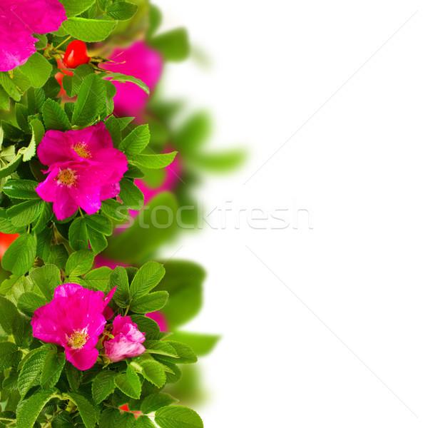 dog roses border Stock photo © neirfy