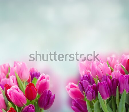 bouquet of  pink and purple  tulip flowers Stock photo © neirfy