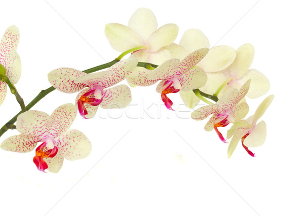 delicate  orchid flowers Stock photo © neirfy