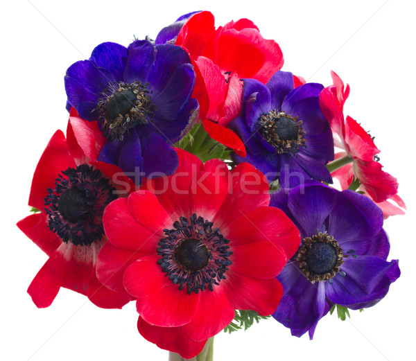 anemone flowers  Stock photo © neirfy