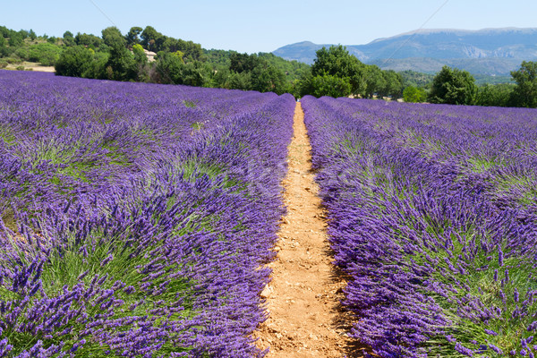Lavendel veld rij zomer blauwe hemel Frankrijk natuur Stockfoto © neirfy