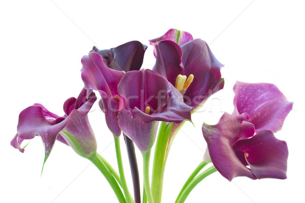 Calla lilly flowers Stock photo © neirfy