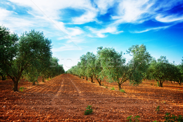 Olive tree rows, France Stock photo © neirfy