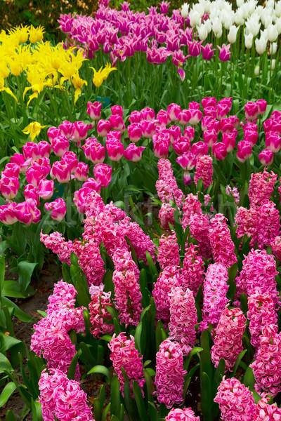 ピンク ヒヤシンス 花 新鮮な 春 成長 ストックフォト © neirfy