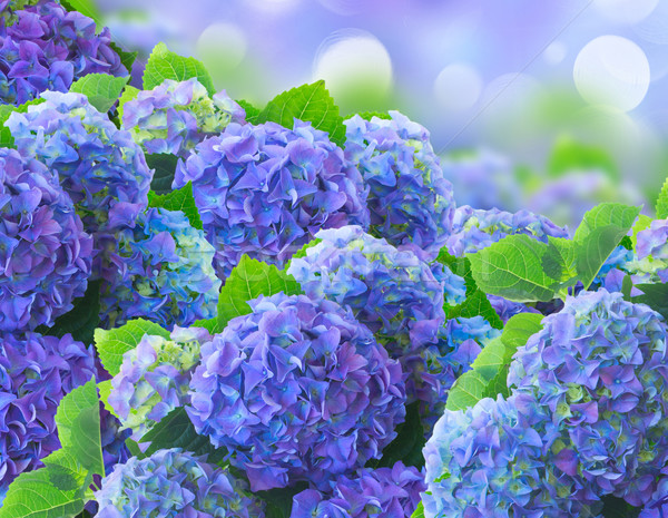 Bleu fleurs ion bokeh jardin fleur Photo stock © neirfy