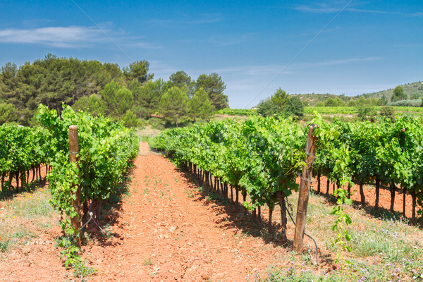 Vineyard green rows Stock photo © neirfy