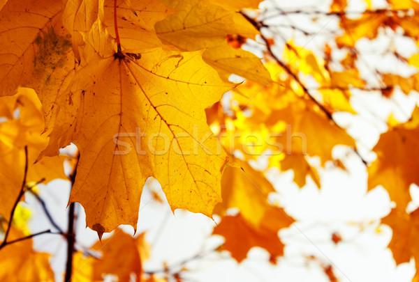 orange leaves in autumn park Stock photo © neirfy