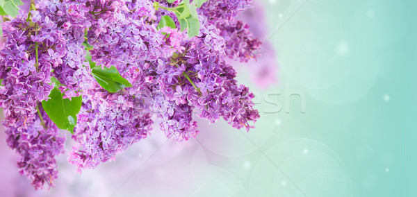 Bokor orgona lila virágok kék ég bokeh Stock fotó © neirfy