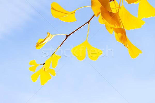yellow ginko biloba in autumn park Stock photo © neirfy