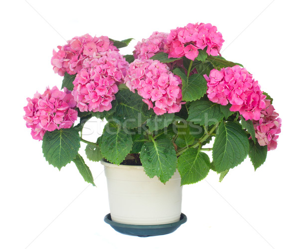 pink  hortensia flowers Stock photo © neirfy