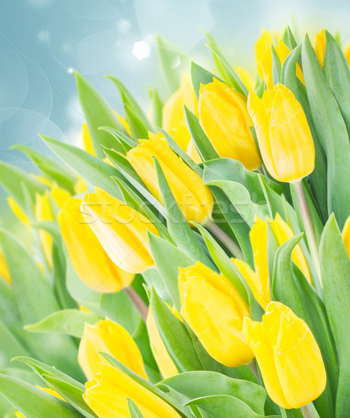 Bahar bahçe sarı taze lale büyüyen Stok fotoğraf © neirfy