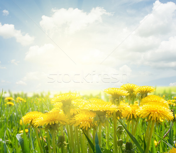 dandelion field at spring Stock photo © neirfy
