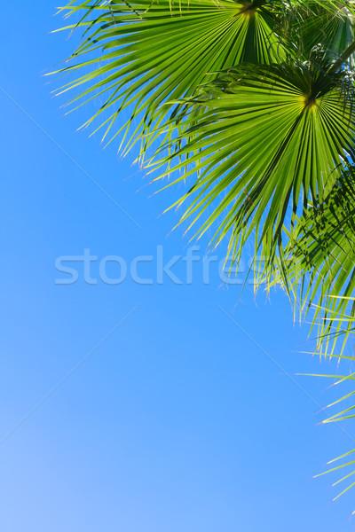 Hurma ağacı mavi yeşil yaprakları parlak mavi gökyüzü bo Stok fotoğraf © neirfy