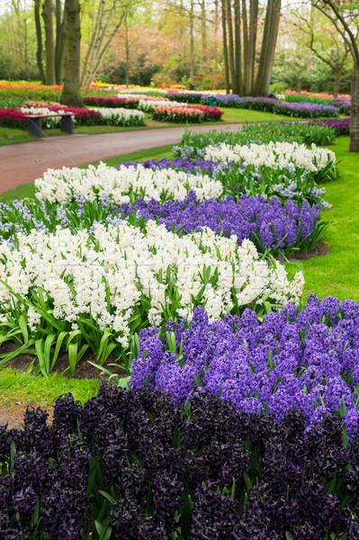 青 ヒヤシンス 花壇 バイオレット 白 オランダ語 ストックフォト © neirfy