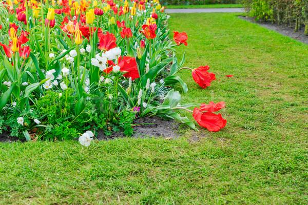 Nárciszok sáv tulipánok virágok zöld fű Stock fotó © neirfy