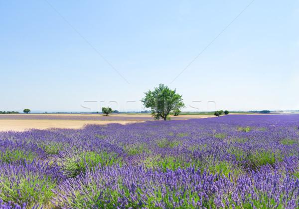 ラベンダー畑 ツリー 夏 淡い 青空 フランス ストックフォト © neirfy