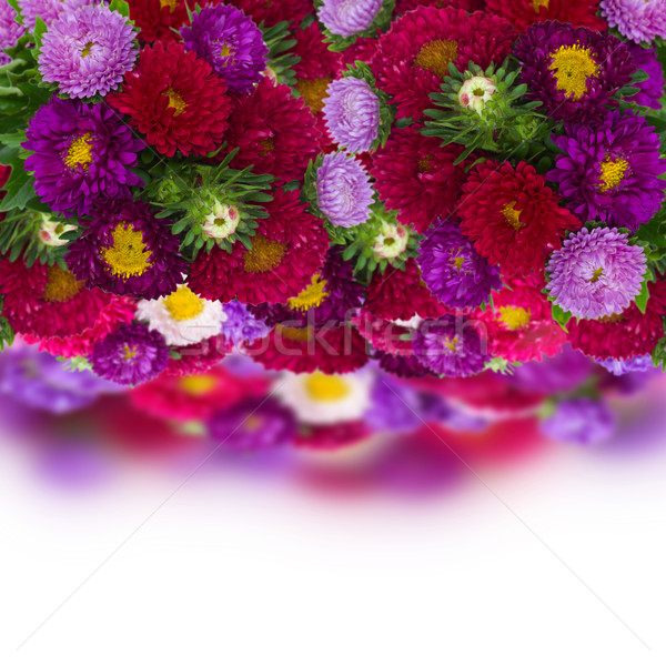 border of fresh aster flowers Stock photo © neirfy