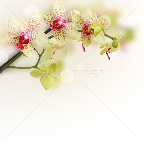 orchid flowers Stock photo © neirfy