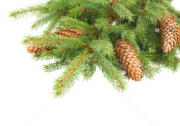 Fenyőfa ág friss izolált fehér fa Stock fotó © neirfy