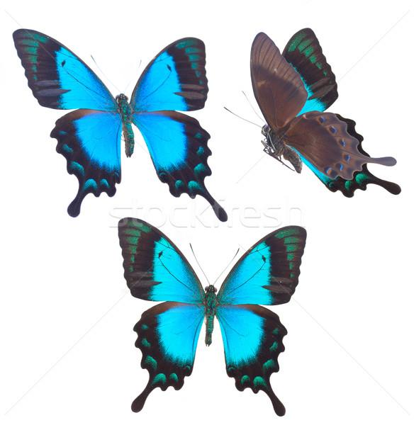 Sea Green Swallowtail butterfly Stock photo © neirfy