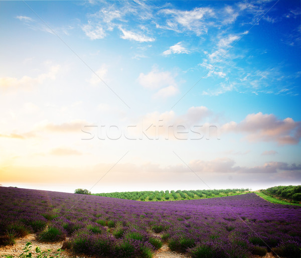 Blooming Lavender field Stock photo © neirfy