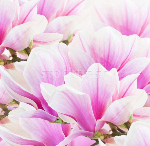 Roze magnolia bloemen vers Stockfoto © neirfy