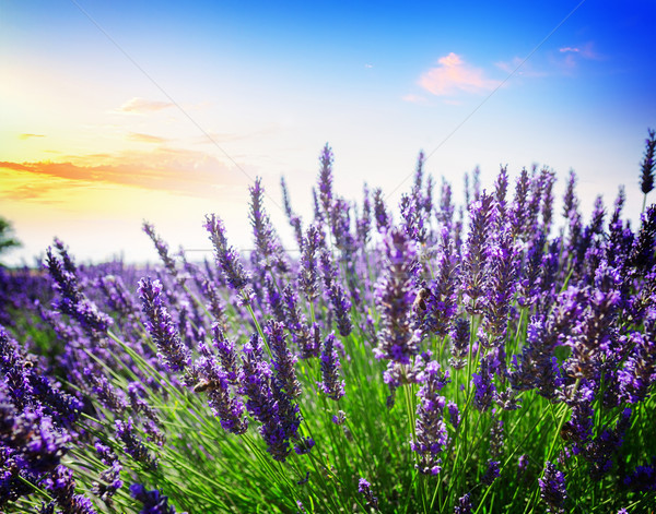 Lavender summer field Stock photo © neirfy