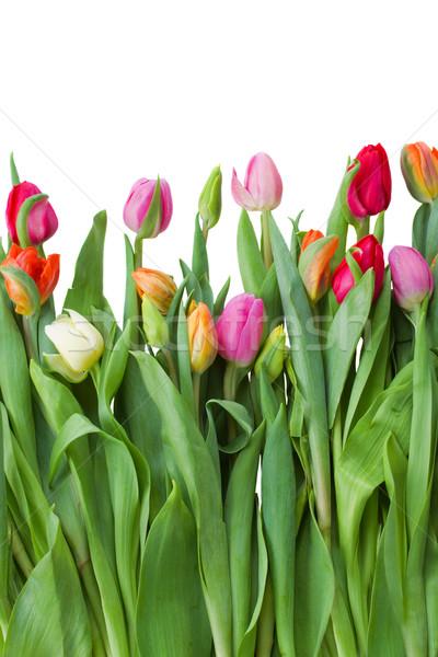 Primavera tulipani fresche isolato bianco natura Foto d'archivio © neirfy