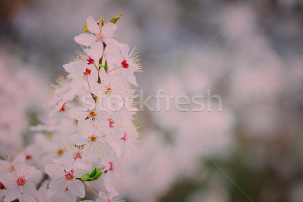 Spring bloom, retro toned Stock photo © neirfy