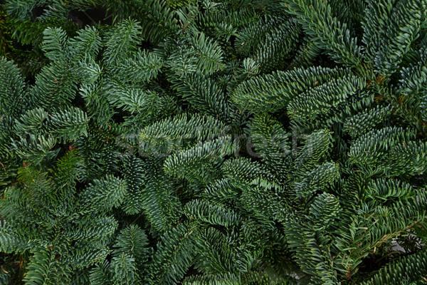 Natale evergreen albero fresche foresta sfondo Foto d'archivio © neirfy