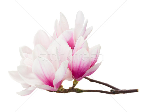 Magnolia bloemen witte geïsoleerd boom voorjaar Stockfoto © neirfy