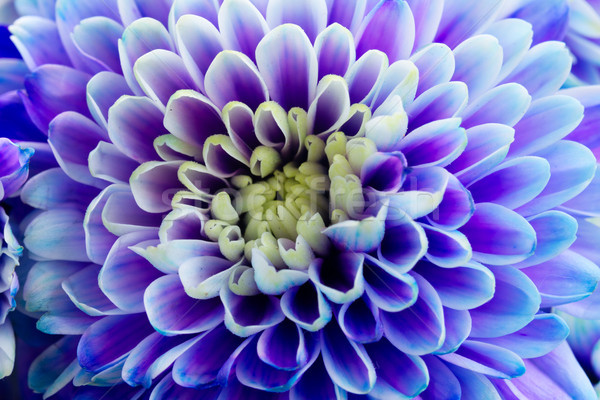 Kék krizantém virágok friss virág szirmok Stock fotó © neirfy