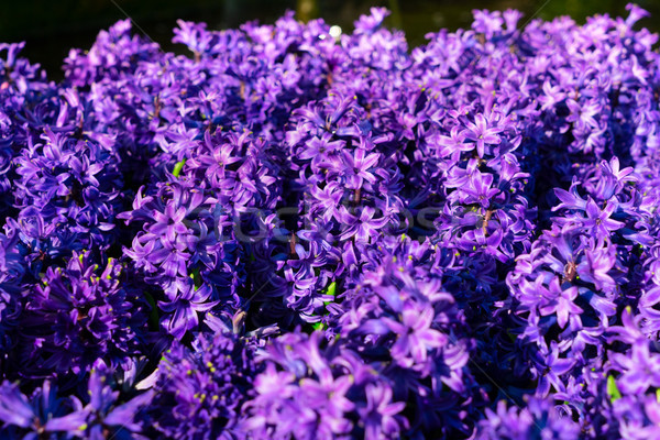 Blue hyacinth flowers Stock photo © neirfy