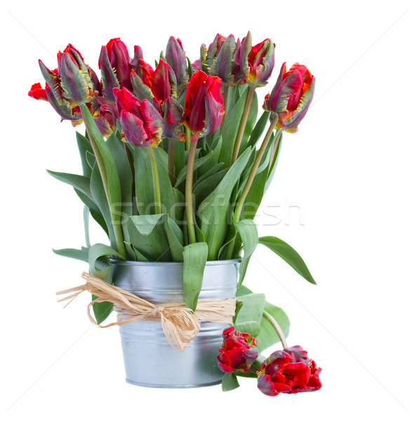 spring red tulip flowers in pot Stock photo © neirfy