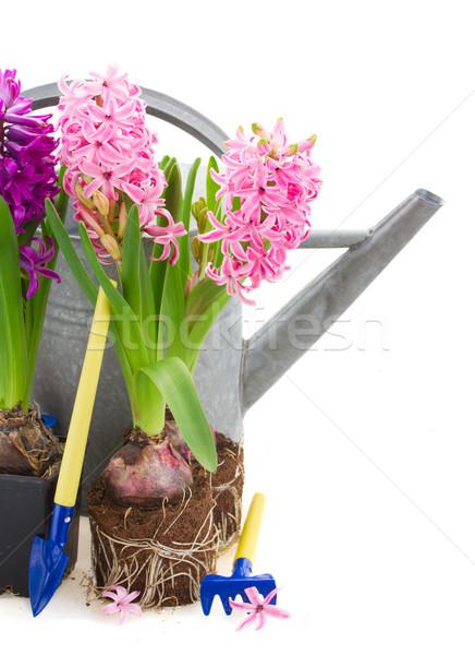 Kerti eszközök jácint virágok izolált fehér nyár Stock fotó © neirfy