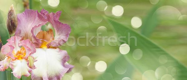 Booming irises Stock photo © neirfy