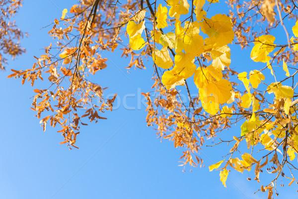 Vibrante caduta fogliame giallo albero Foto d'archivio © neirfy
