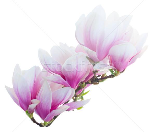 Magnolia kwiaty biały oddziału odizolowany drzewo Zdjęcia stock © neirfy