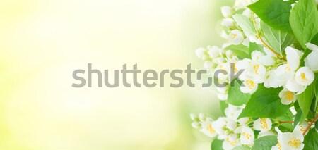 Jasmine flowers and leaves Stock photo © neirfy