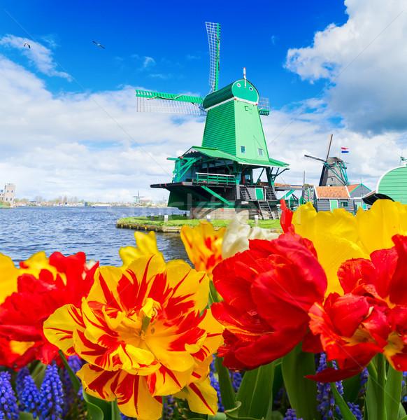 Holland szél hagyományos fából készült tulipánok virágok Stock fotó © neirfy
