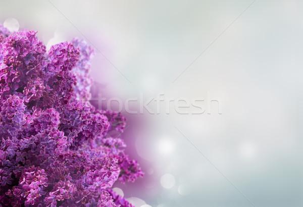 сирень цветы белый свежие кадр Сток-фото © neirfy