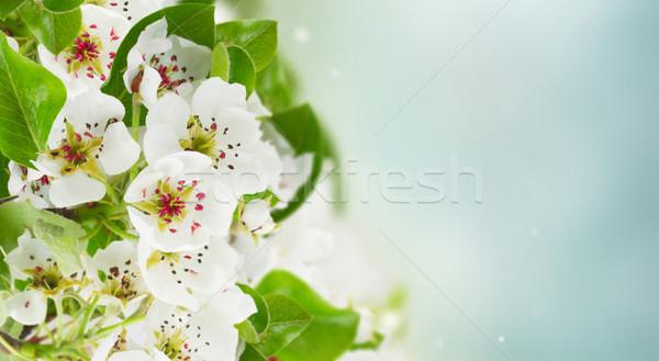 Virágzó almafa virágok zöld levelek kék ég szalag Stock fotó © neirfy