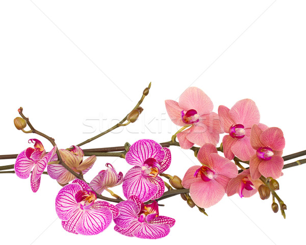 orchid flowers  branches Stock photo © neirfy