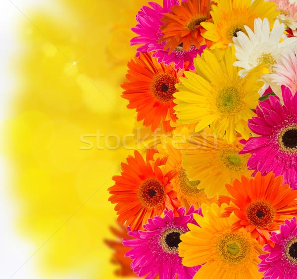 herbera flowers Stock photo © neirfy