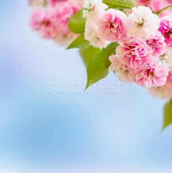 Blossoming Cherry tree Stock photo © neirfy