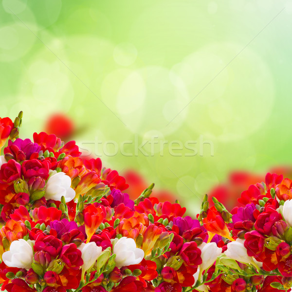 red freesia flowers in garden Stock photo © neirfy