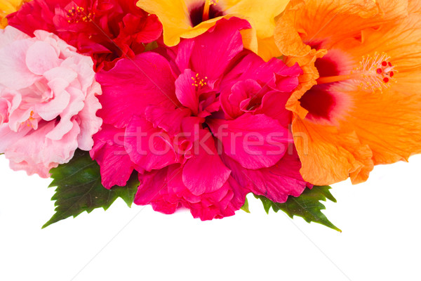 Keret színes hibiszkusz virágok izolált fehér Stock fotó © neirfy