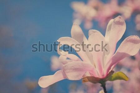 Virágzó magnolia virág fa virágok kék Stock fotó © neirfy
